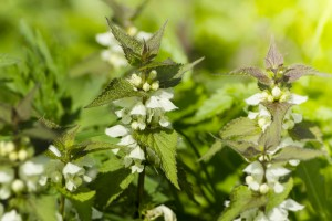 dead nettle on bright green background from plants