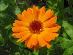Bright orange calendula flower