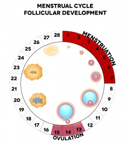 Menstrual cycle, follicular development